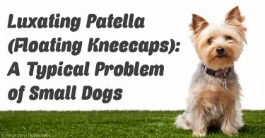 luxating-patella