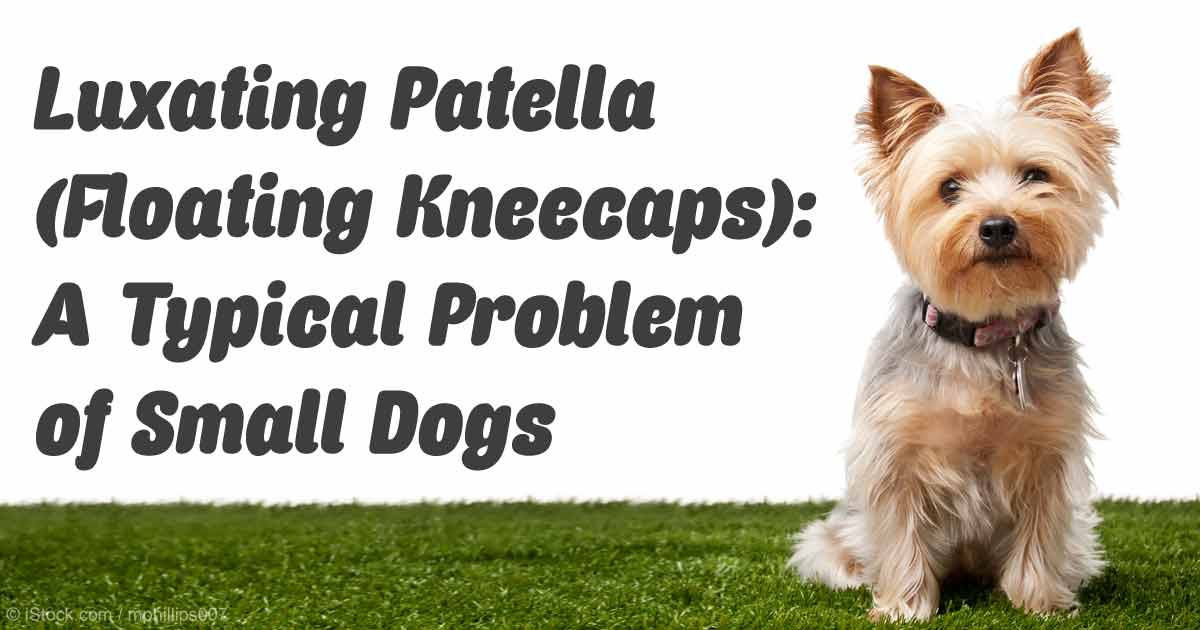 Loose Knees In Small Dogs